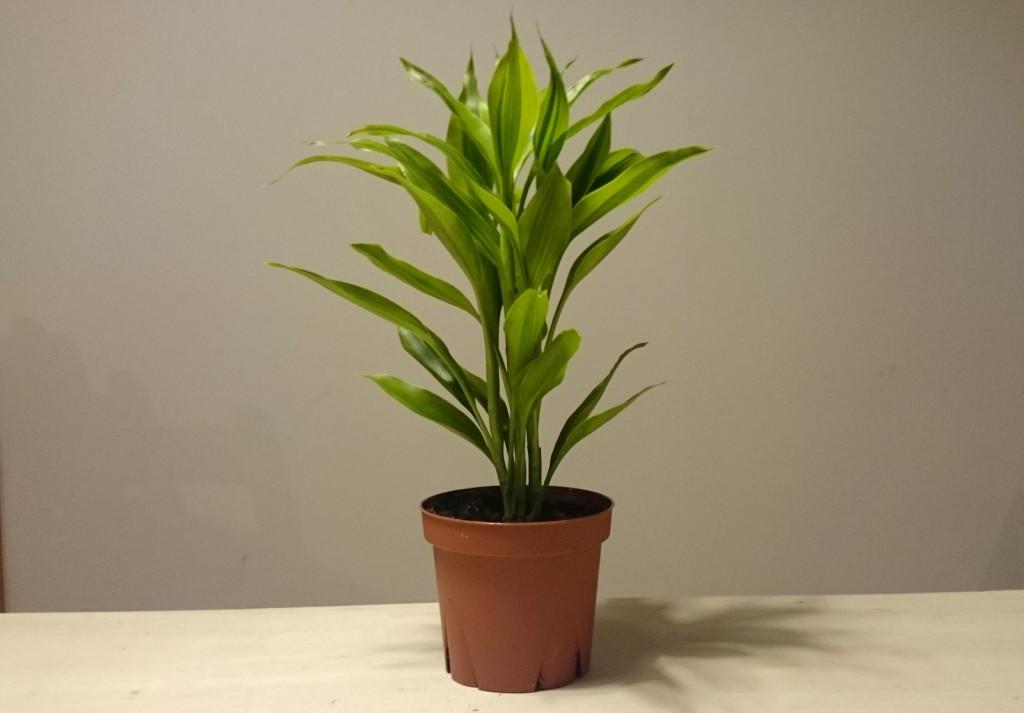 写真3 今回対象となる観葉植物